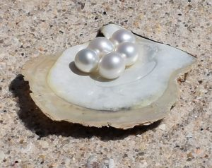 White and pink Australian South Sea Pearls sitting on oyster shell
